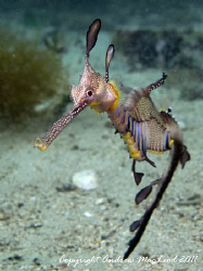 The Weedy Sea Dragon on Flinders Pier. Flinders, Australia by Andrew Macleod